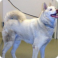 Husky Mix Dog for adoption in Wildomar, California - Beau