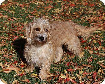 Dachshund Mix Dog for adoption in San Jose, California - Cookie