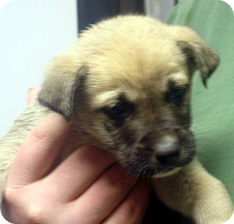 German Shepherd Dog Mix Puppy for adoption in Greencastle, North Carolina - Littlefoot