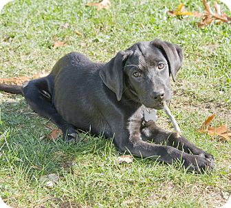 Labrador Retriever Mix Puppy for adoption in Brooklyn, New York - Amazing Artemis