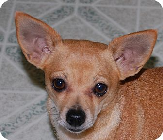 Chihuahua Dog for adoption in Marlton, New Jersey - Pink
