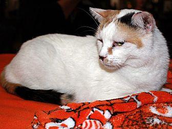 Calico Cat for adoption in Redlands, California - Cinderella