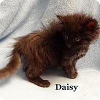 Adopt A Pet :: Daisy - Bentonville, AR