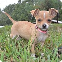 Adopt A Pet :: Priscilla - Glastonbury, CT