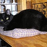 Adopt A Pet :: Bobbi Jo-Manx - Eldora, IA