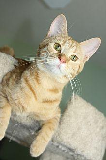 Domestic Shorthair Kitten for adoption in Yuba City, California - Lola