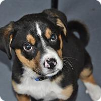 Adopt A Pet :: Napoleon - Meridian, ID