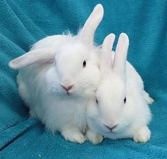 Lionhead Mix for adoption in Los Angeles, California - Ricky & Lucy