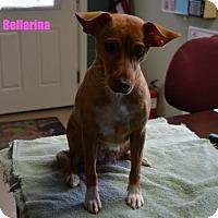 Adopt A Pet :: Bellarina - Yreka, CA