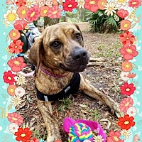 Adopt A Pet :: Gigi FOSTER needed - Tampa, FL