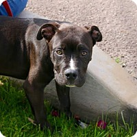 American Staffordshire Terrier Mix Dog for adoption in Phoenix, Arizona - DUNN