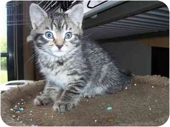 Domestic Shorthair Kitten for adoption in Frenchtown, New Jersey - Jax