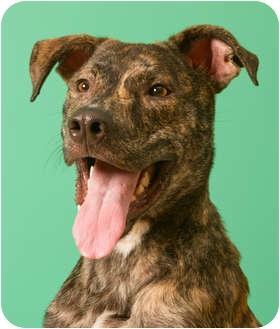 Greyhound/Great Dane Mix Dog for adoption in Troy, Michigan - Milo