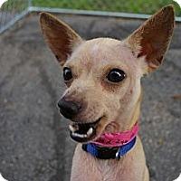 Adopt A Pet :: Blondie - Brooksville, FL