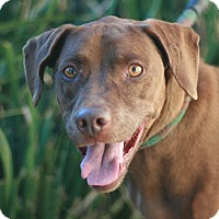 Vizsla/Labrador Retriever Mix Dog for adoption in Canoga Park, California - Vega