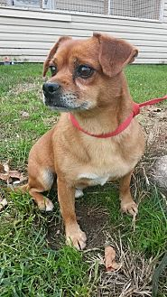 Pug Mix Dog for adoption in Prestonsburg, Kentucky - willy