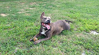 American Pit Bull Terrier/American Pit Bull Terrier Mix Dog for adoption in Toms River, New Jersey - Charlotte