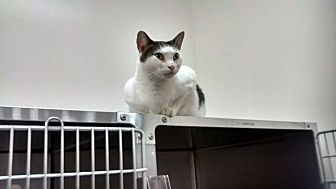 Domestic Shorthair Cat for adoption in Chesapeake, Virginia - Joe
