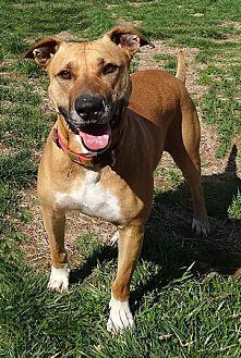 American Staffordshire Terrier/Boxer Mix Dog for adoption in Fredericksburg, Virginia - Jasmine- HSFC