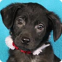 Adopt A Pet :: Stella - Minneapolis, MN