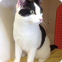 Adopt A Pet :: Pamuk - Merrifield, VA
