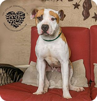 Hound (Unknown Type)/American Bulldog Mix Dog for adoption in Inglewood, California - Mickey