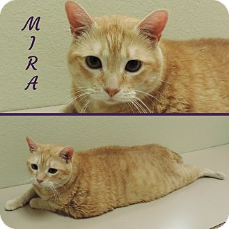 Domestic Shorthair Cat for adoption in Sioux City, Iowa - MIRA