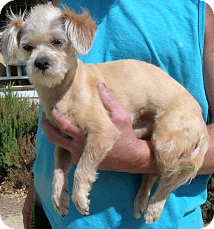 Maltese/Poodle (Toy or Tea Cup) Mix Dog for adoption in Corona, California - MURPHY