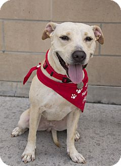 Labrador Retriever/American Staffordshire Terrier Mix Dog for adoption in Vancouver, British Columbia - Vail