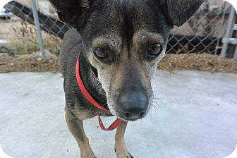 Chihuahua Mix Dog for adoption in Meridian, Idaho - Jack