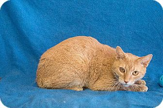Domestic Shorthair Cat for adoption in Dearborn, Michigan - Theotis