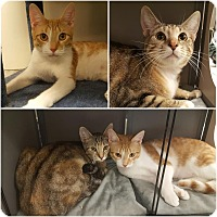 Domestic Shorthair Kitten for adoption in Brandon, Florida - Mason