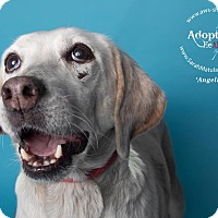 Adopt A Pet :: Angelina - New Milford, CT