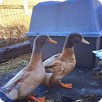 Duck for adoption in Methuen, Massachusetts - BUFF DRAKE