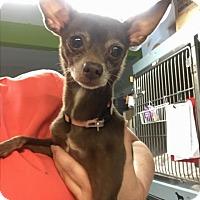Adopt A Pet :: Anita - Austin, TX