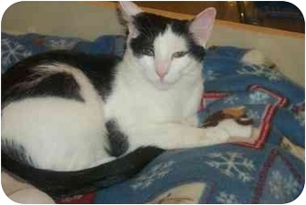 Domestic Shorthair Kitten for adoption in Newburgh, New York - Patches
