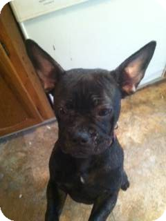 French Bulldog/Boston Terrier Mix Puppy for adoption in Cumberland, Maryland - Charlotte