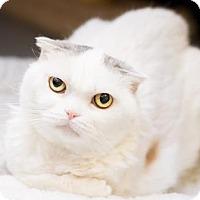Adopt A Pet :: Snow - Fountain Hills, AZ