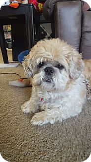Shih Tzu Dog for adoption in Eden Prairie, Minnesota - GOLDIE