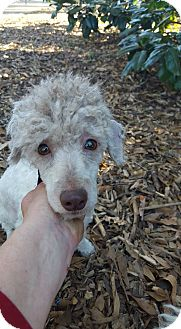 Poodle (Toy or Tea Cup) Dog for adoption in Alpharetta, Georgia - Major Star