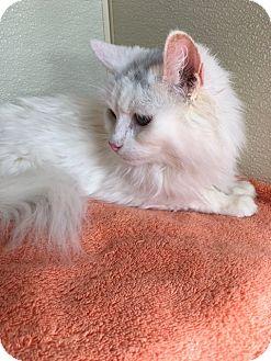 Domestic Mediumhair Cat for adoption in Las Vegas, Nevada - Iris