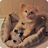Adopt A Pet :: Chevy - conroe, TX