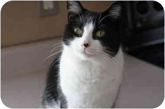 Domestic Shorthair Cat for adoption in Xenia, Ohio - Chloe