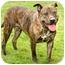 Photo 3 - American Pit Bull Terrier Mix Dog for adoption in Marina del Rey, California - Peanut