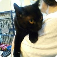 Domestic Shorthair Cat for adoption in East Stroudsburg, Pennsylvania - Blackie II