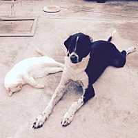 Labrador Retriever/Pointer Mix Dog for adoption in West Palm Beach, Florida - Harley