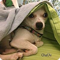 Adopt A Pet :: ChaChi - Homewood, AL