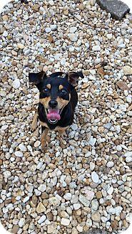 Miniature Pinscher Mix Dog for adoption in Palmetto Bay, Florida - rick