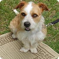 Adopt A Pet :: Scruffy - Indian Trail, NC