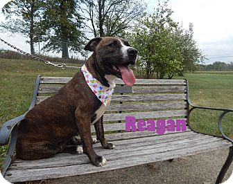 American Staffordshire Terrier Mix Dog for adoption in Bucyrus, Ohio - Reagan